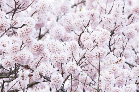 jindaisakuraflowers.jpg